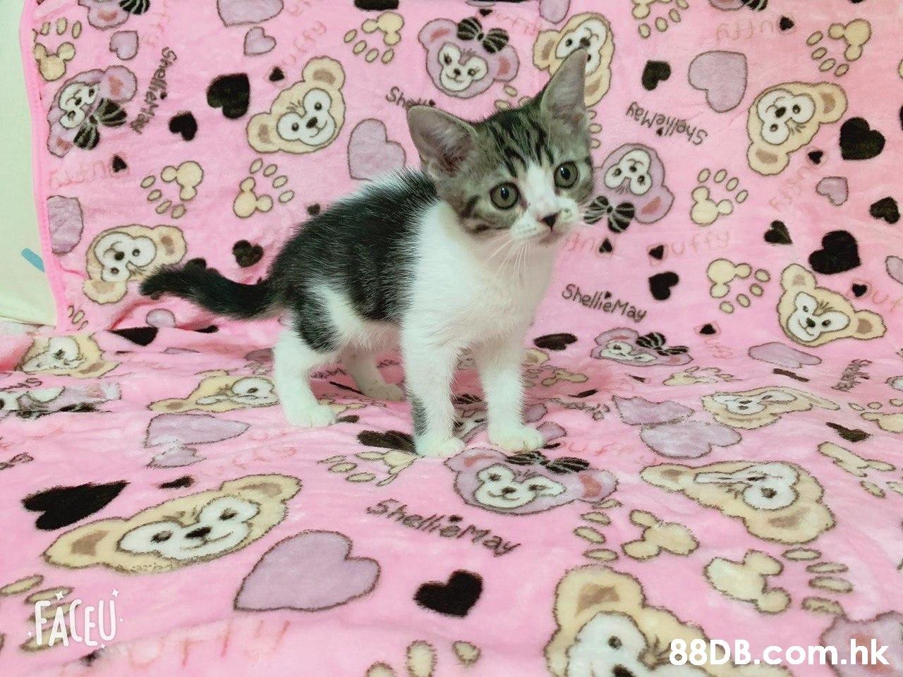 FACEU .hk  Cat,Mammal,Small to medium-sized cats,Felidae,Kitten