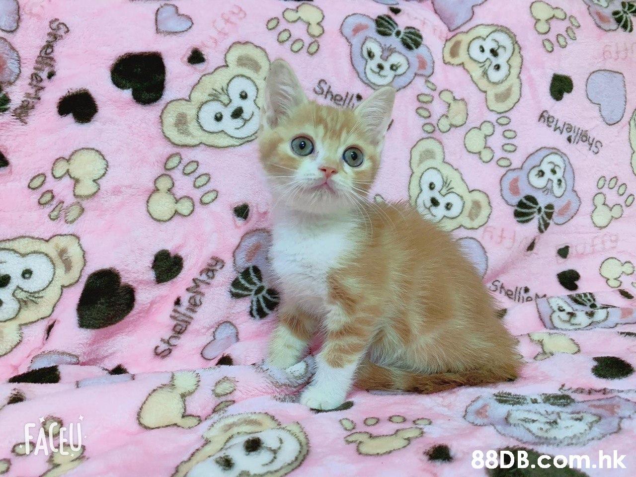 Shell .hk  Cat,Small to medium-sized cats,Felidae,Kitten,Whiskers