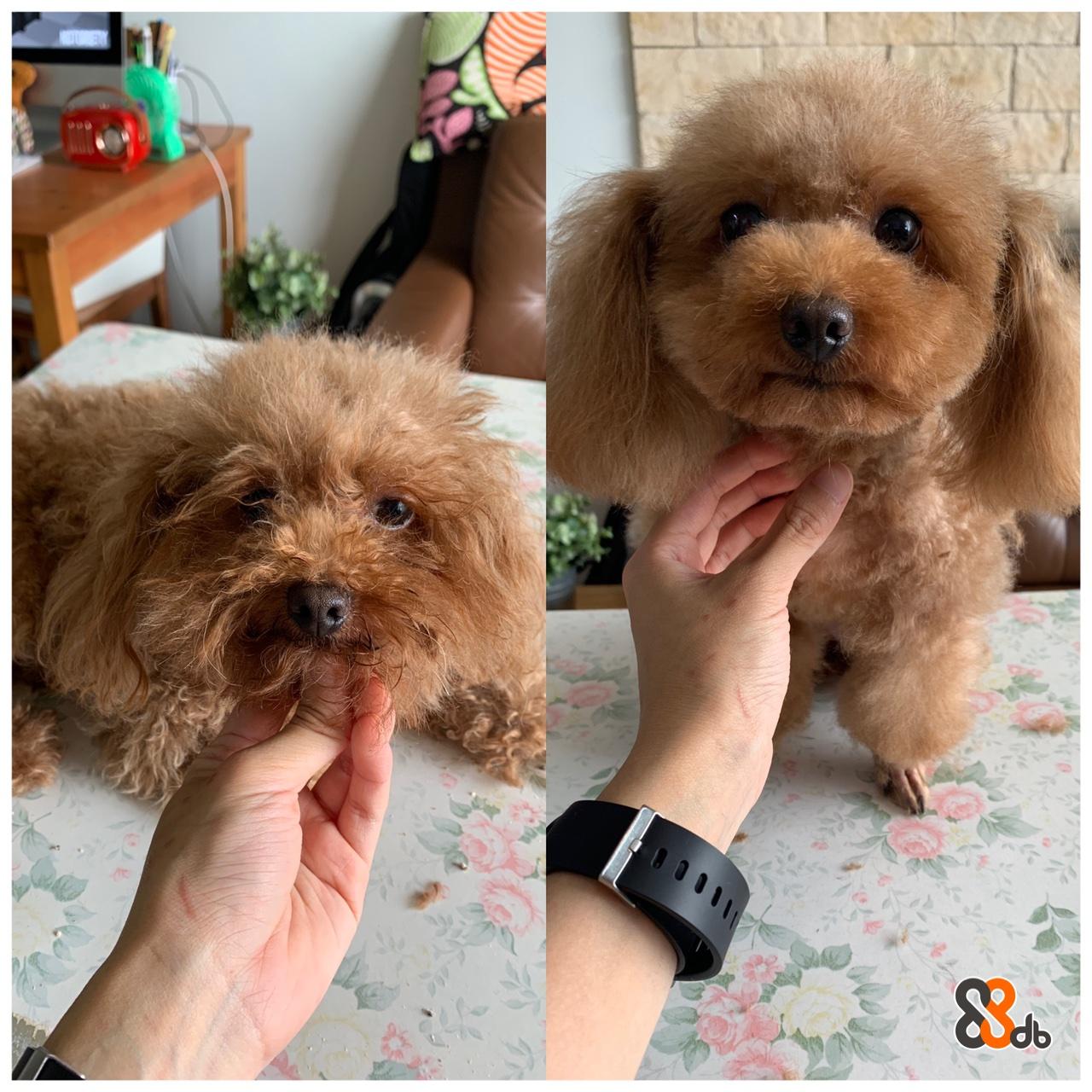 Dog,Maltepoo,Canidae,Mammal,Dog breed