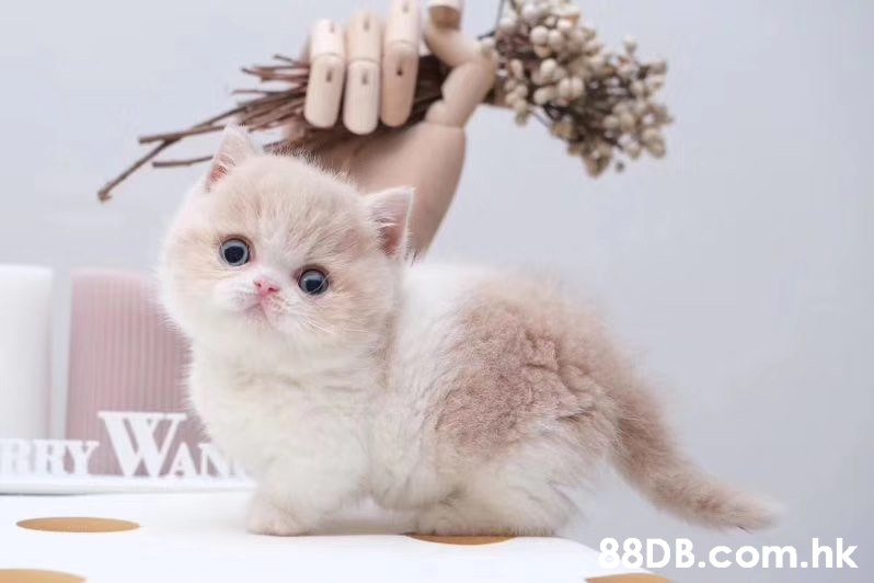 98DB.com.hk  Cat,Mammal,Vertebrate,Small to medium-sized cats,Felidae