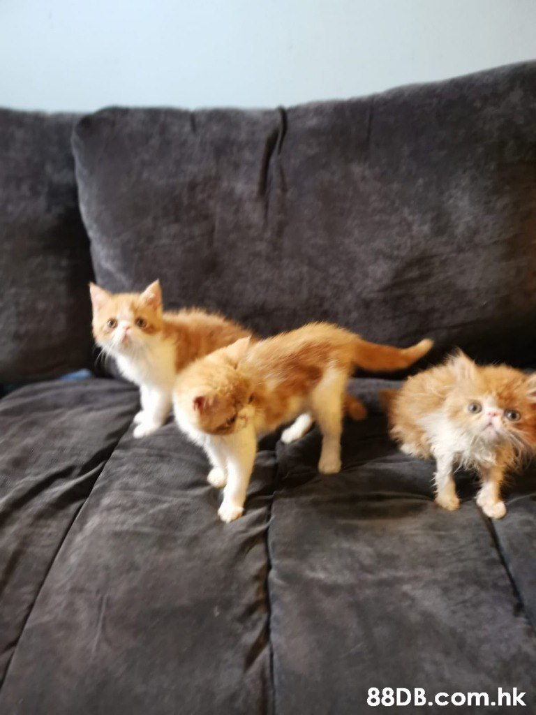 .hk  Cat,Mammal,Felidae,Small to medium-sized cats,Carnivore