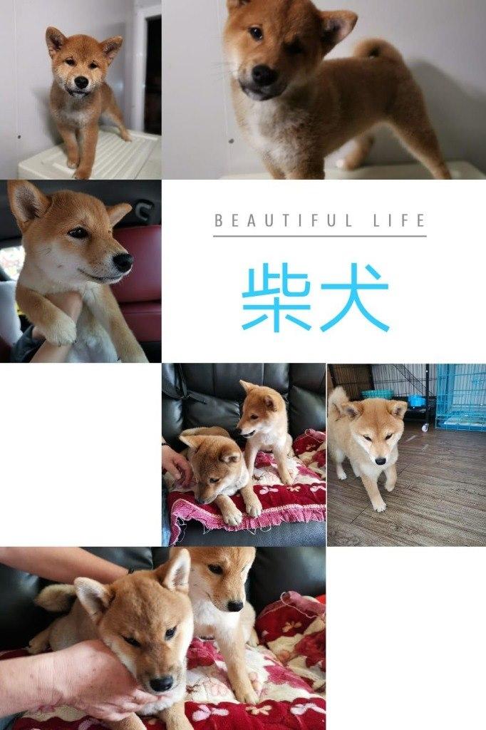 BEAUTIFUL LIFE 柴犬 此  Mammal,Dog,Vertebrate,Dog breed,Canidae