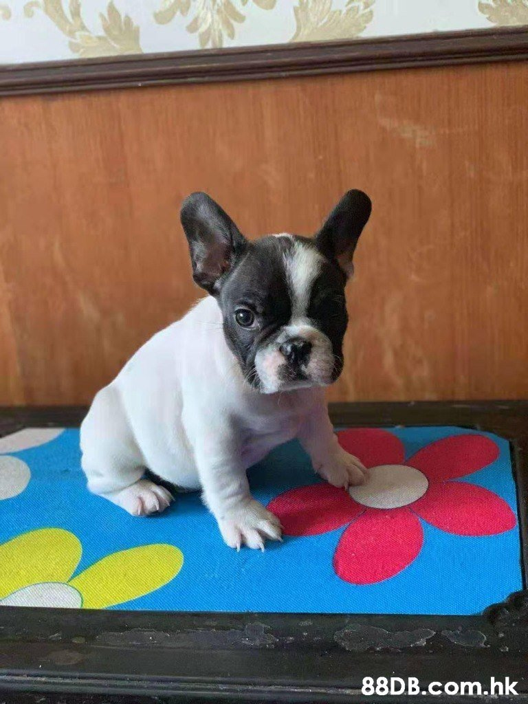 .hk  Dog,Mammal,Vertebrate,Canidae,Dog breed