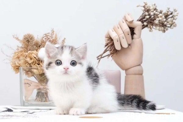 萌貓舍 - 自家繁殖經營,布偶貓,曼基貓,英國短毛,英短長毛,異國短毛,英國短毛,金吉拉 ,豹貓,無毛貓等等,自家繁殖以及七天健康保障。