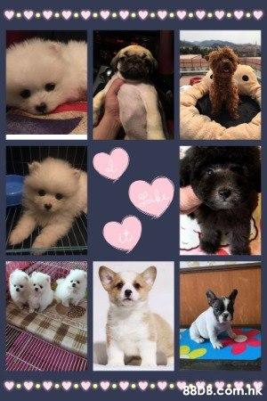 高質素貴婦、約瑟、松鼠、西施、摩天使、日本血統柴犬、豆柴、哥基、純種黑白史立莎、法國老虎狗、英國老虎狗、北京、八哥等等和其他多種中小型犬 。