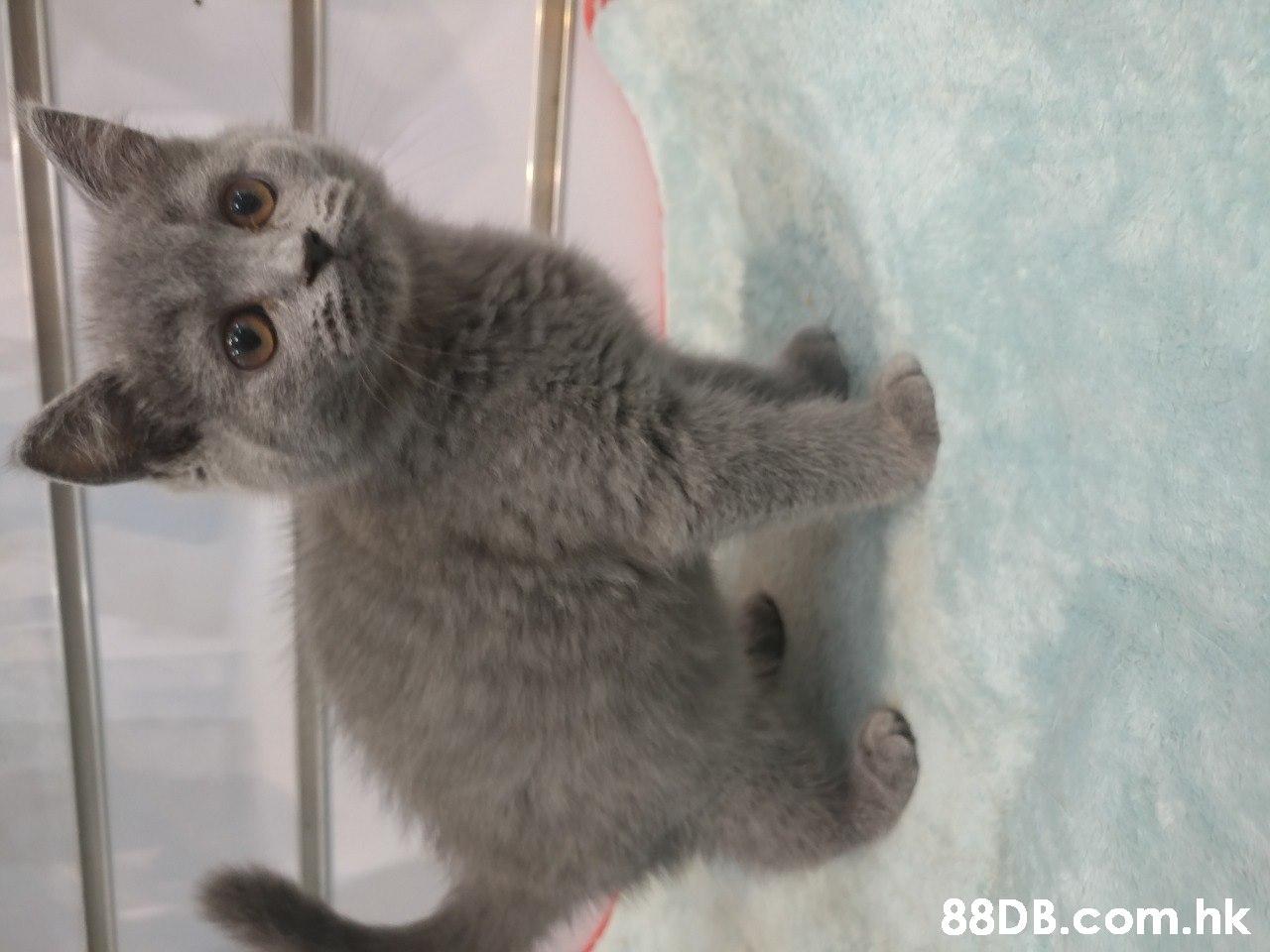 .hk  Cat,Mammal,Vertebrate,Felidae,Small to medium-sized cats