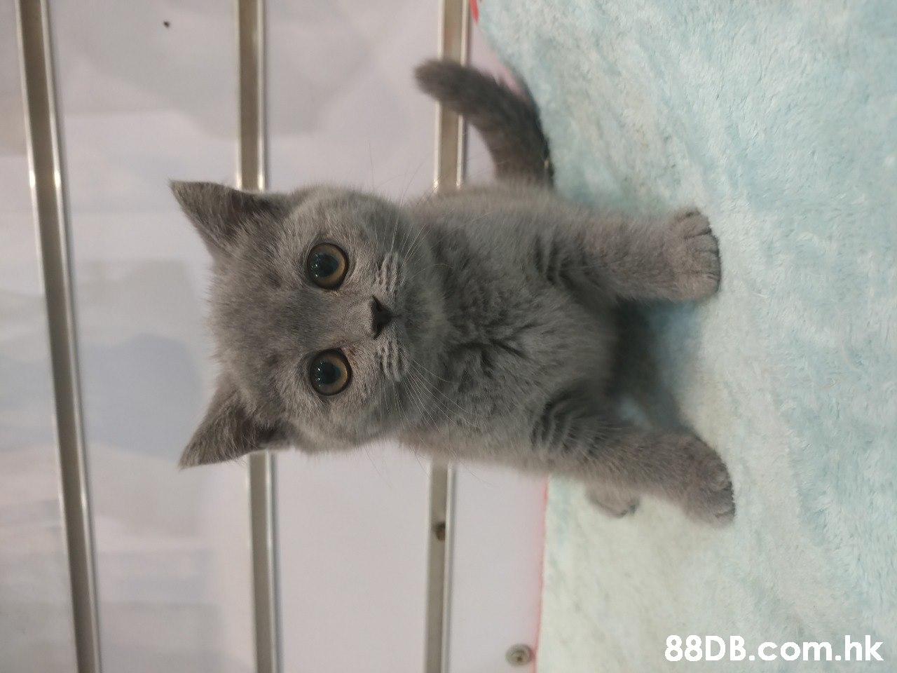 .hk  Cat,Small to medium-sized cats,Mammal,Felidae,British shorthair