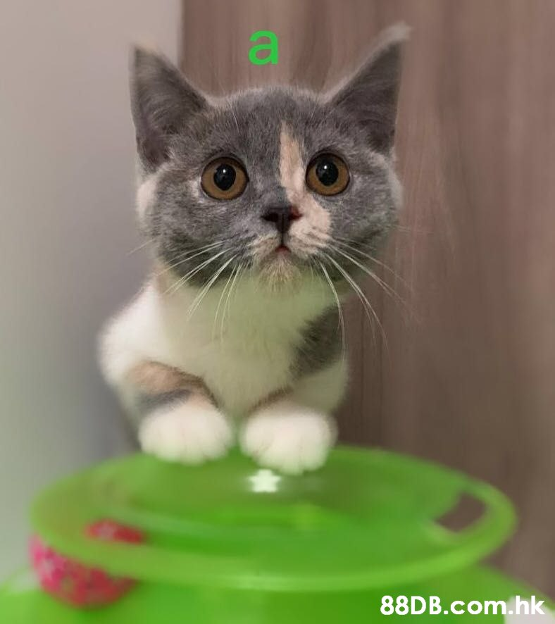 a .hk  Cat,Small to medium-sized cats,Whiskers,Mammal,Felidae