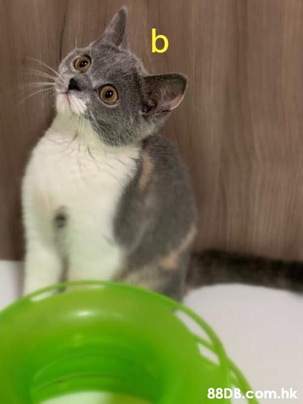 b .hk  Cat,Mammal,Vertebrate,Small to medium-sized cats,Felidae