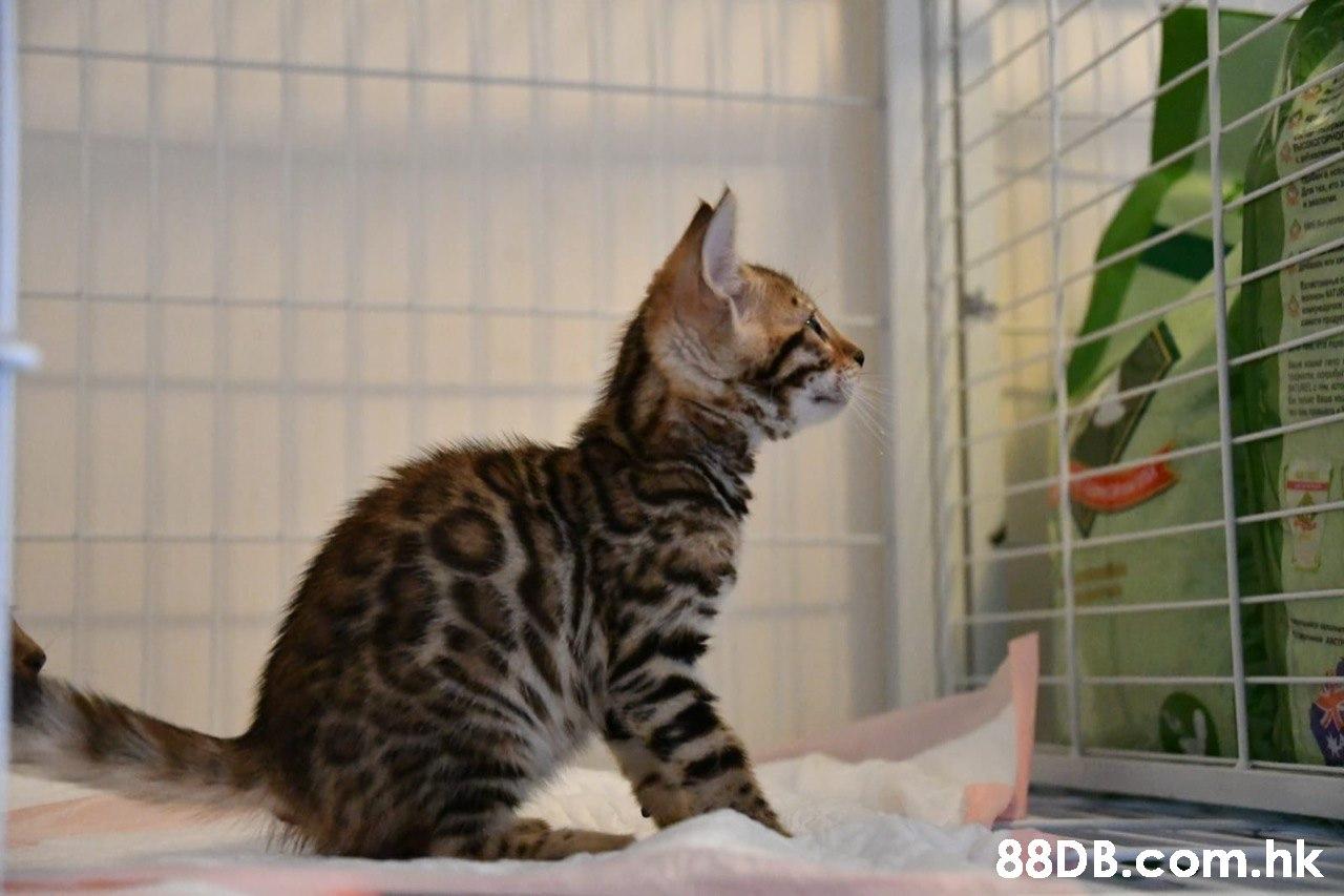 NTOPHO .hk  Cat,Mammal,Vertebrate,Small to medium-sized cats,Felidae