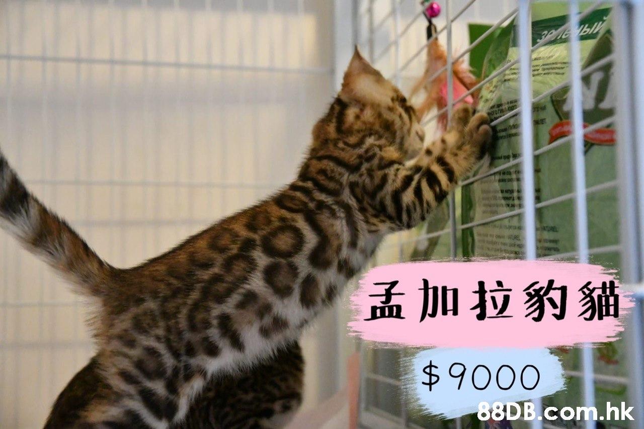 Phe viue E 孟加拉豹貓 $9000 .hk  Cat,Mammal,Vertebrate,Small to medium-sized cats,Felidae