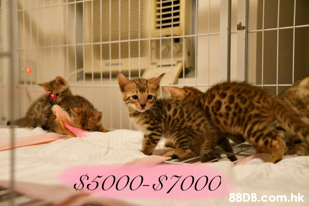 85000-87000 .hk  Cat,Mammal,Vertebrate,Small to medium-sized cats,Felidae