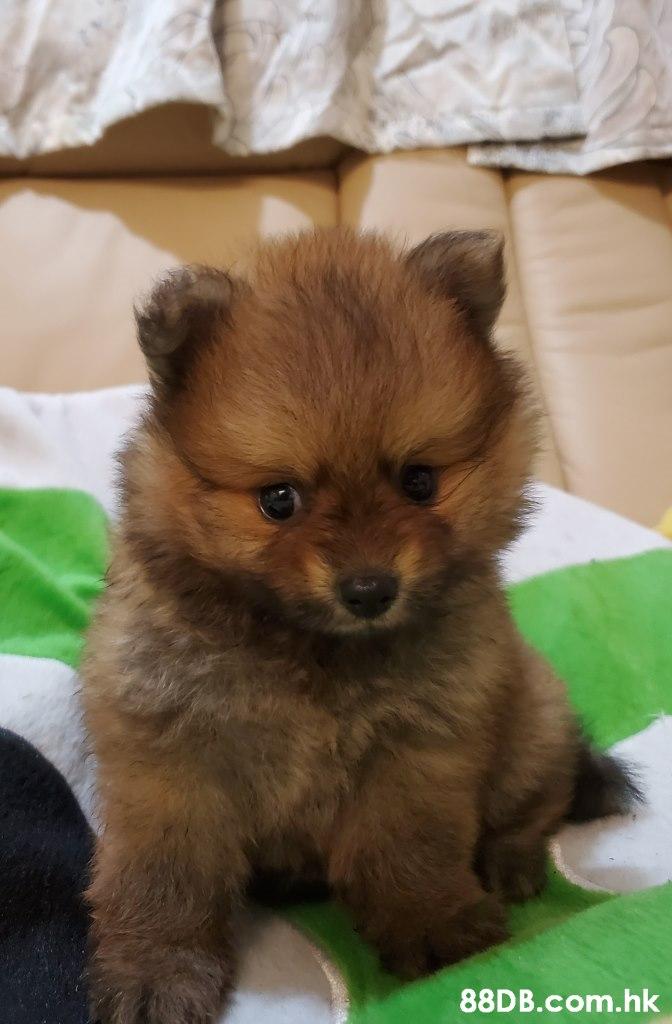 .hk,Dog,Mammal,Vertebrate,Dog breed,Canidae
