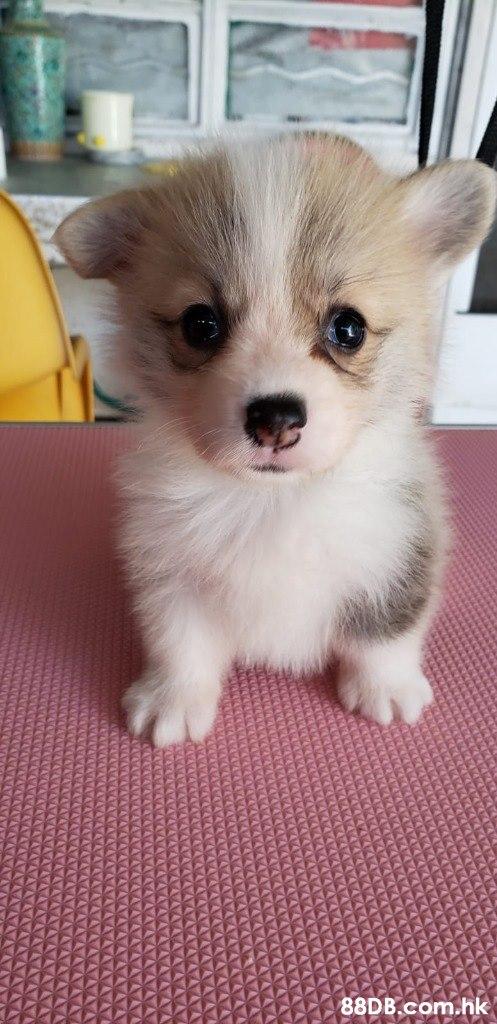 .hk  Dog,Mammal,Vertebrate,Dog breed,Canidae