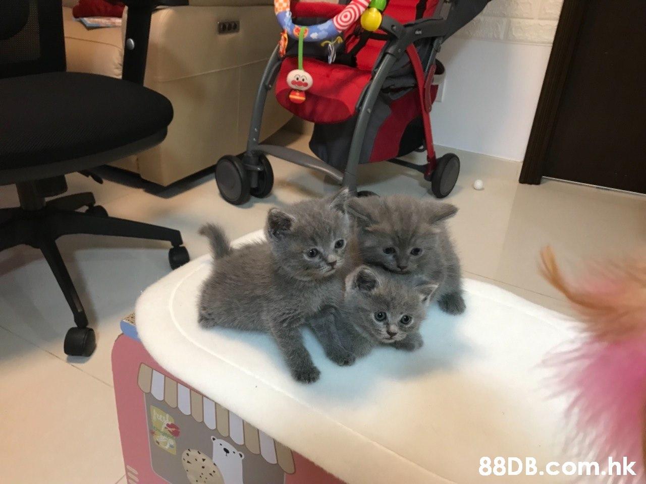 88D B.com.hk  Cat,Mammal,Vertebrate,Small to medium-sized cats,Felidae