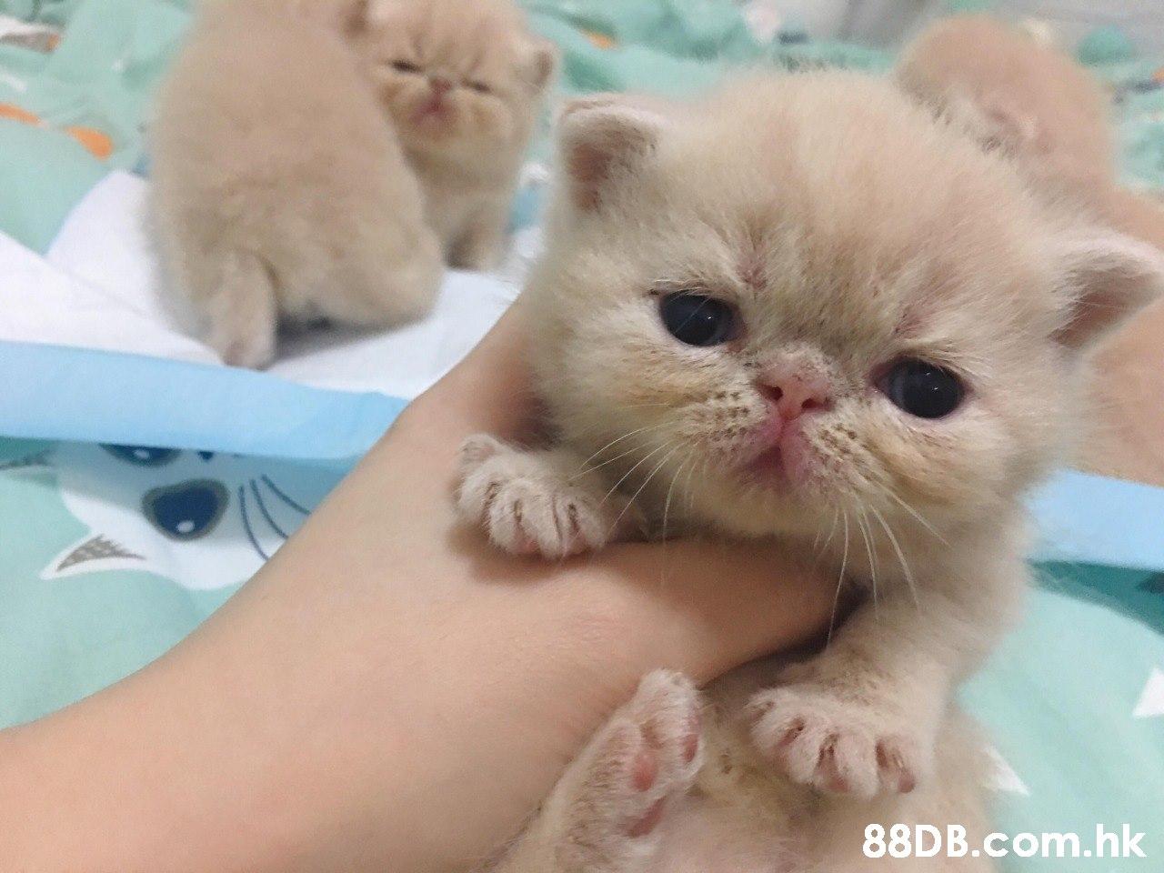 .hk  Cat,Mammal,Vertebrate,Small to medium-sized cats,Felidae