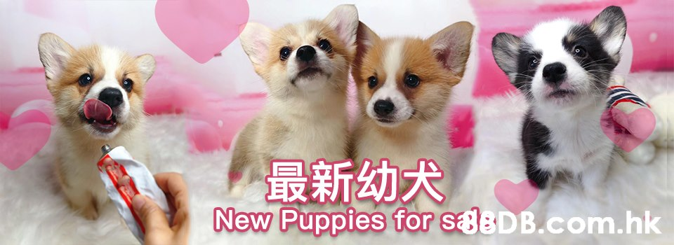 最新幼犬 New Puppies for saeDB.com.hk  Mammal,Dog,Vertebrate,Welsh Corgi,Dog breed