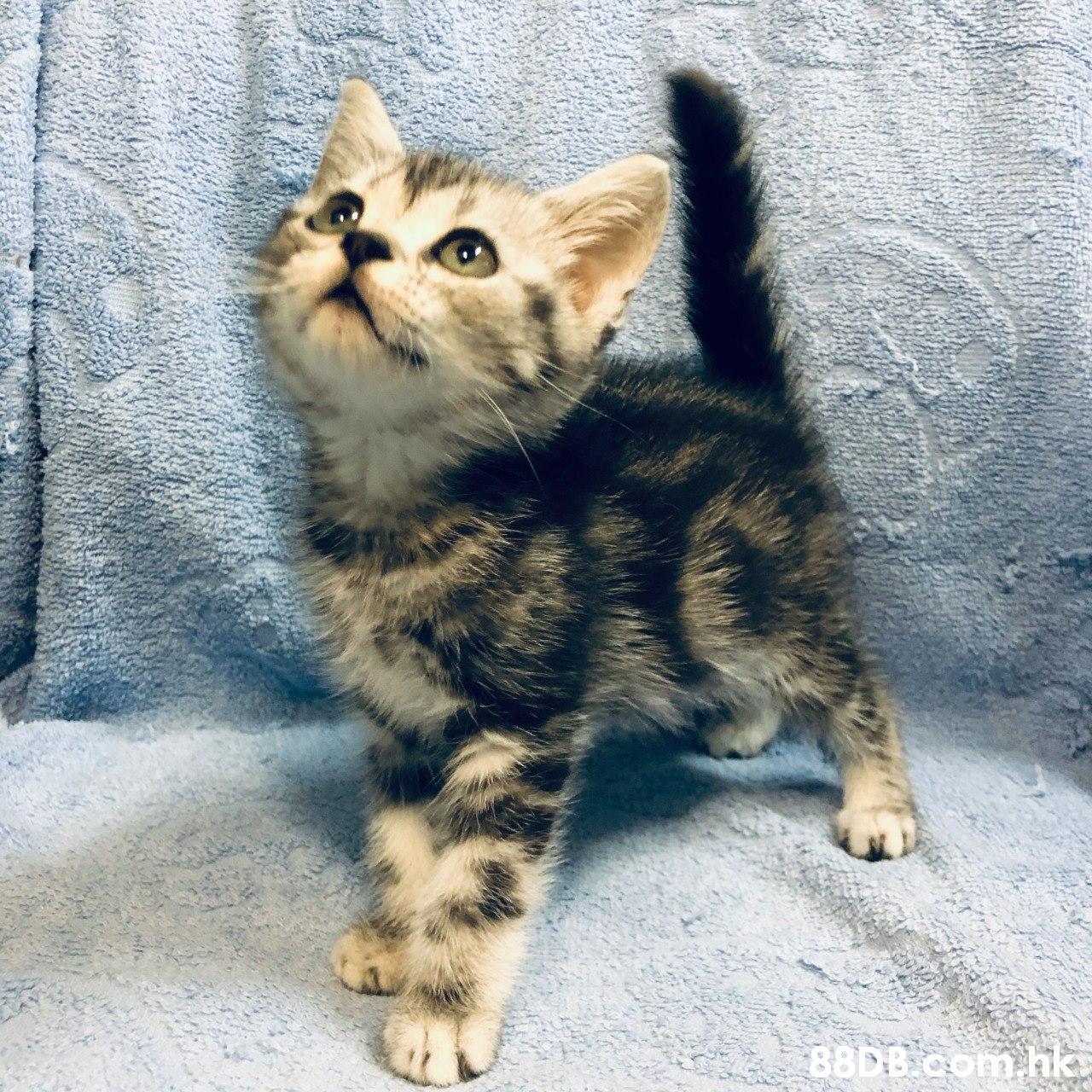 88D B.com hk  Cat,Mammal,Vertebrate,Small to medium-sized cats,Felidae