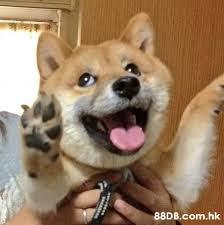 lale .hk  Dog,Mammal,Vertebrate,Shiba inu,Canidae
