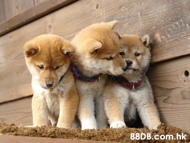 .hk  Dog,Mammal,Vertebrate,Canidae,Shiba inu