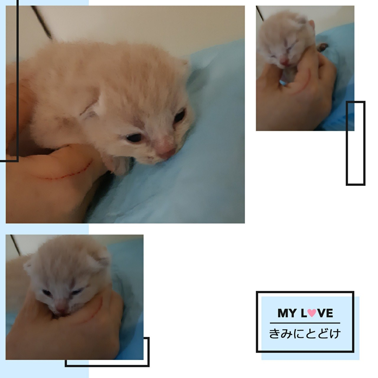 MY L VE きみにとどけ  Cat,Small to medium-sized cats,Mammal,Felidae,Whiskers