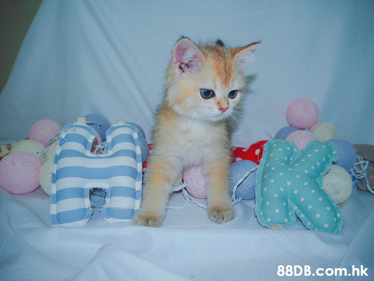 .hk  Cat,Mammal,Small to medium-sized cats,Felidae,Kitten