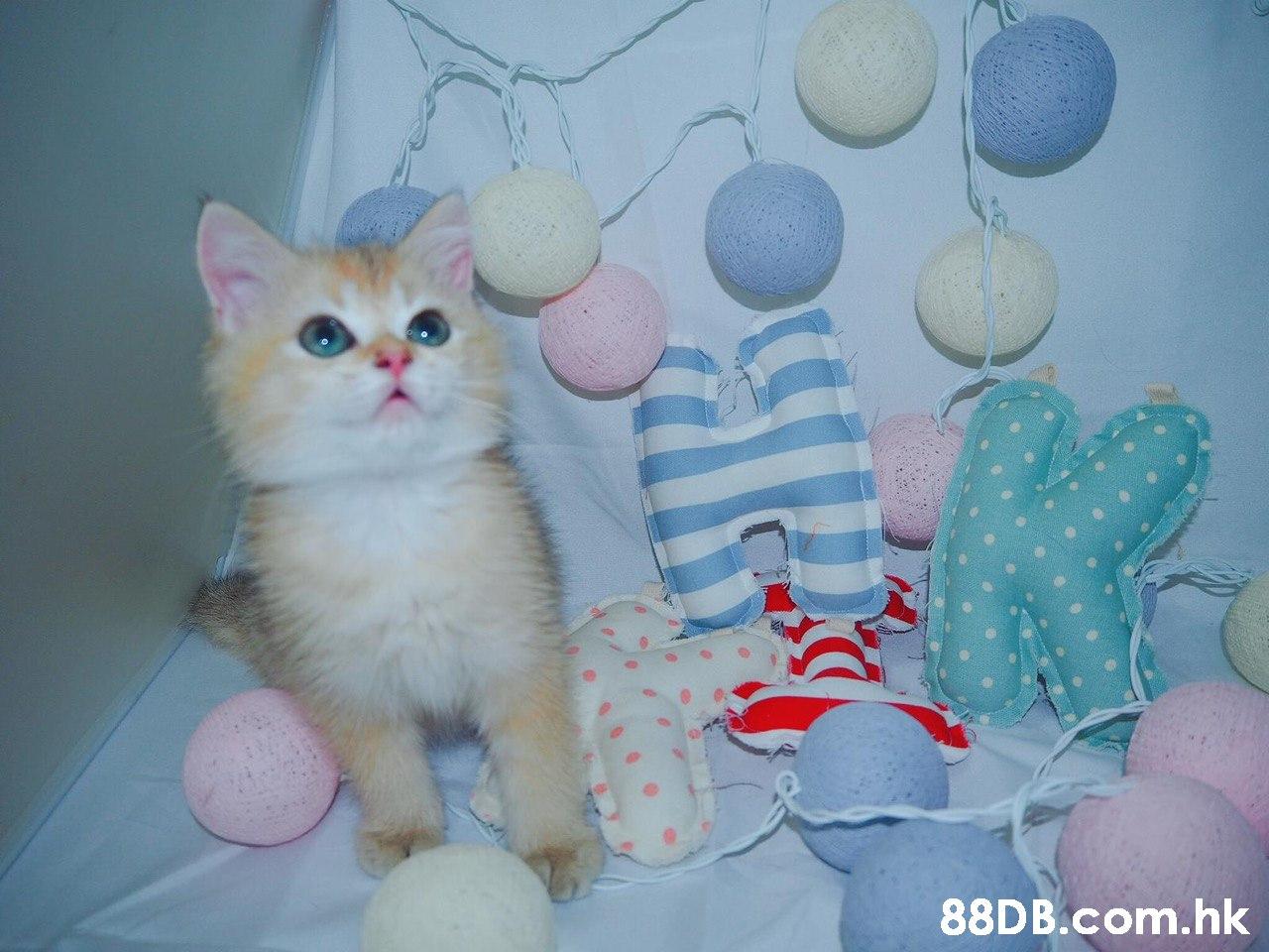 .hk  Cat,Small to medium-sized cats,Felidae,Kitten,Whiskers