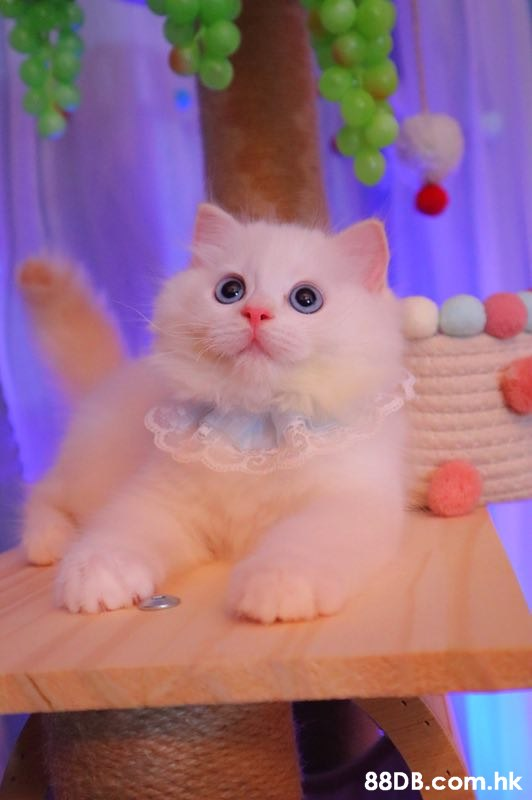 .hk  Cat,Small to medium-sized cats,Felidae,Whiskers,Carnivore