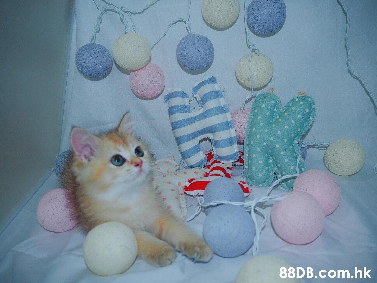 .hk  Cat,Felidae,Small to medium-sized cats,Whiskers,Kitten