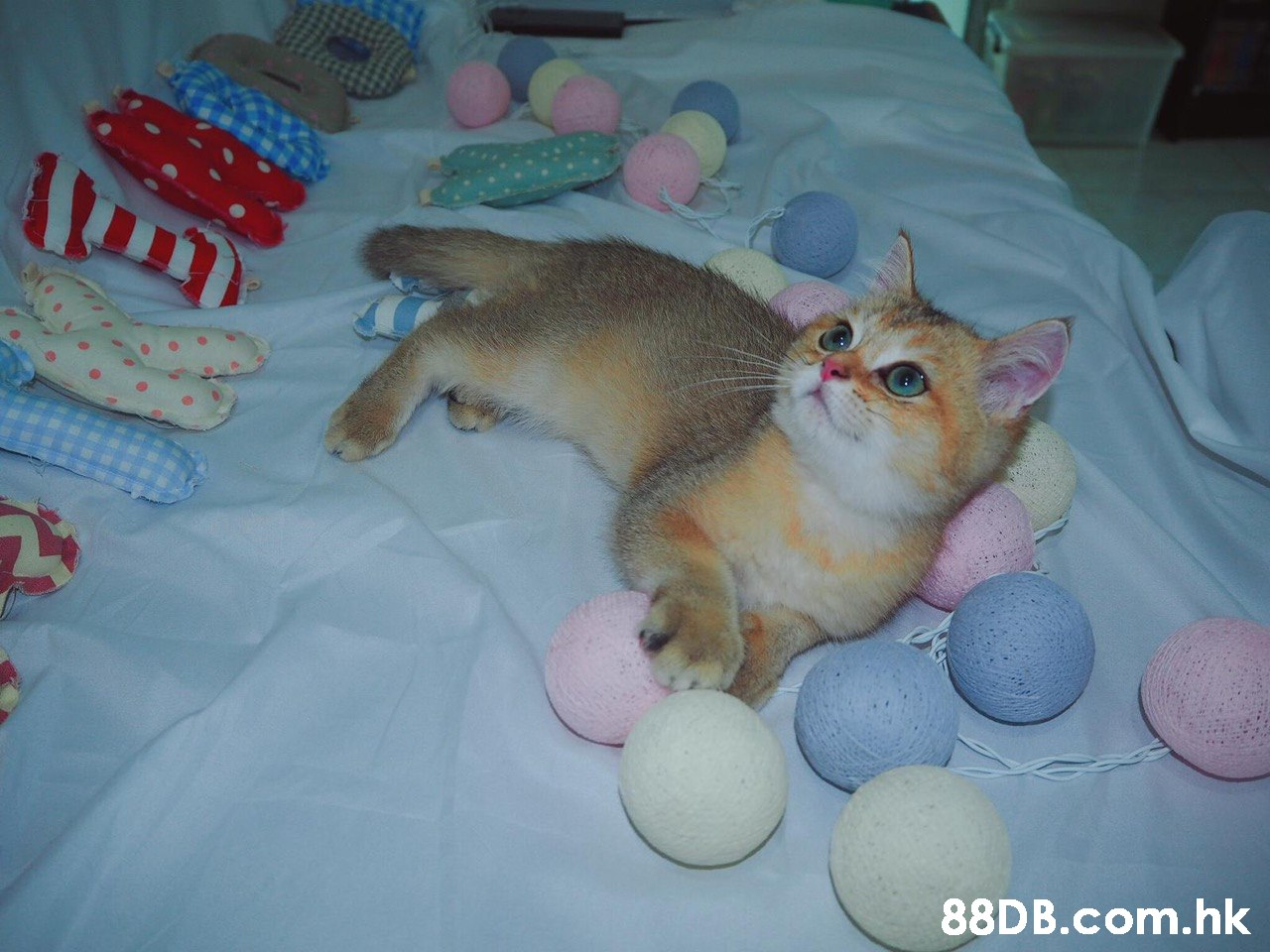 .hk  Cat,Felidae,Small to medium-sized cats,Abyssinian,Kitten