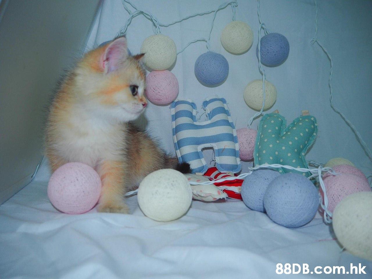 .hk  Cat,Felidae,Small to medium-sized cats,Kitten,Whiskers