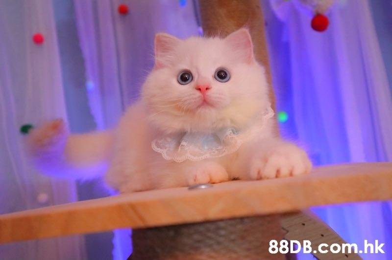 88D B.com.hk  Cat,Mammal,Small to medium-sized cats,Felidae,Whiskers