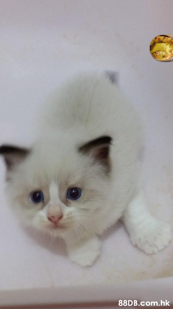 江可米 .hk  Cat,Mammal,Vertebrate,Small to medium-sized cats,Felidae