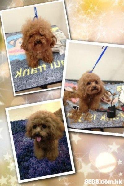 88DB.Com.hk  Dog,Canidae,Toy Poodle,Companion dog,Dog breed