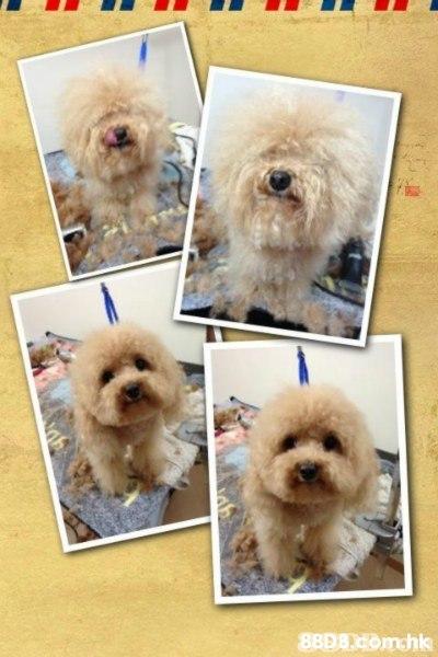 88D8 Comchk  Dog,Canidae,Dog breed,Companion dog,Maltepoo