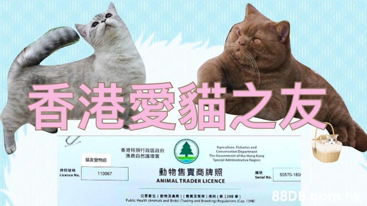 香港愛貓之友 Agriculture Fisheries and Conservation Department The Government of the Hong Kong Special Administrative Region 香港特別行政區政府 漁農自然護理署 貓友肥物店 動物售賣商 e 牌照 110067 50570-180 Licence No. Serial No. ANIMAL TRADER LICENCE 88D 公眾衛生(動物及高鳥)(售寶及繁育)灣例((第1398章) Public Health (Animals and Birds) (Trading and Breeding) Regulations (Cap. 1398)  Cat,Felidae,Small to medium-sized cats,British shorthair,Korat