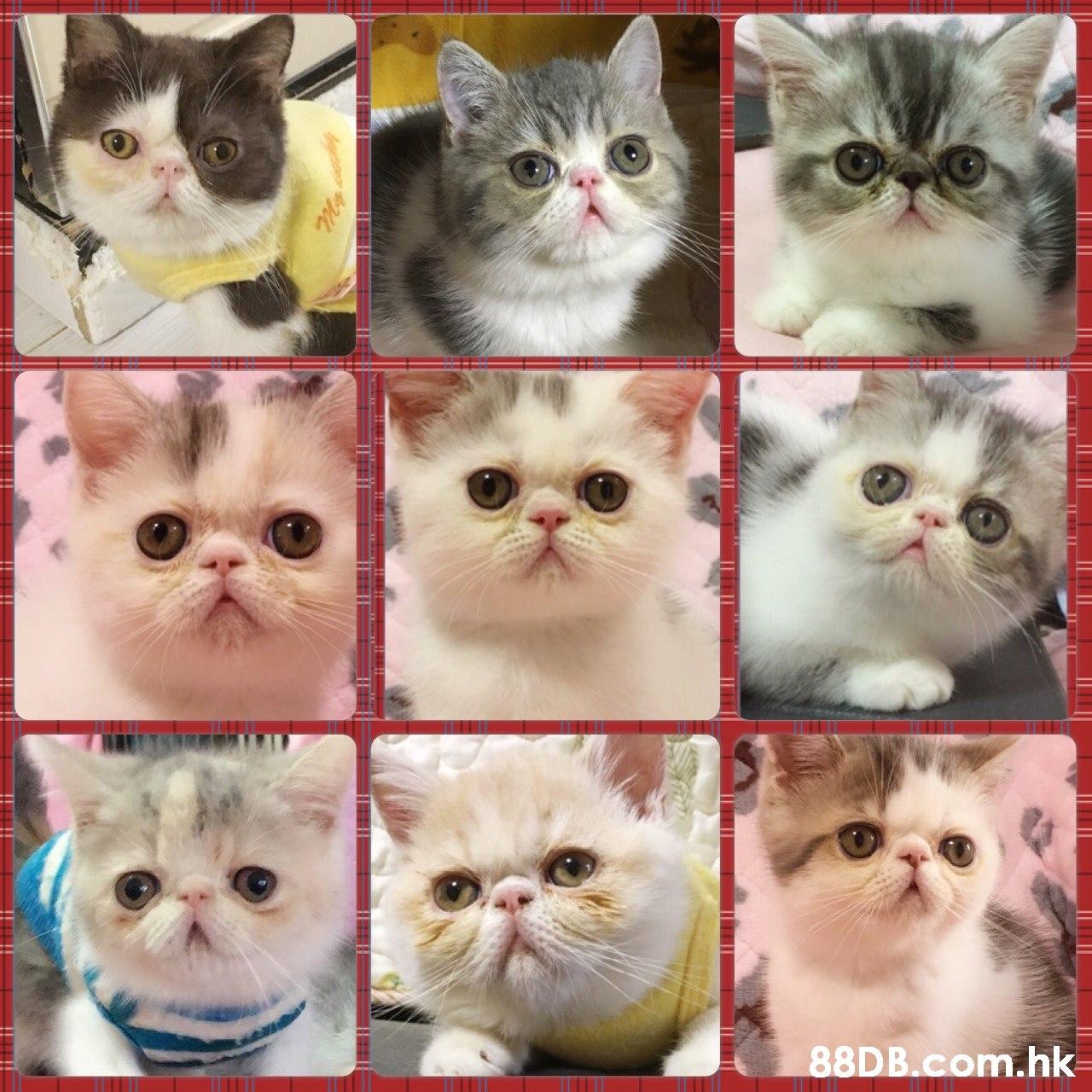 .hk  Cat,Felidae,Small to medium-sized cats,Whiskers,Persian