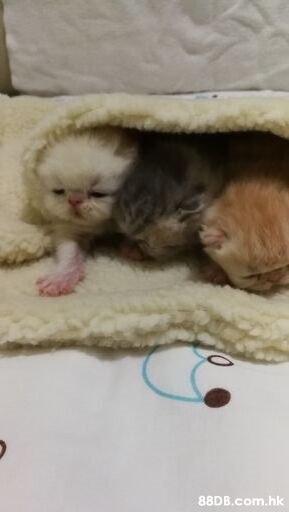 .hk  Cat,Felidae,Small to medium-sized cats,Skin,Kitten