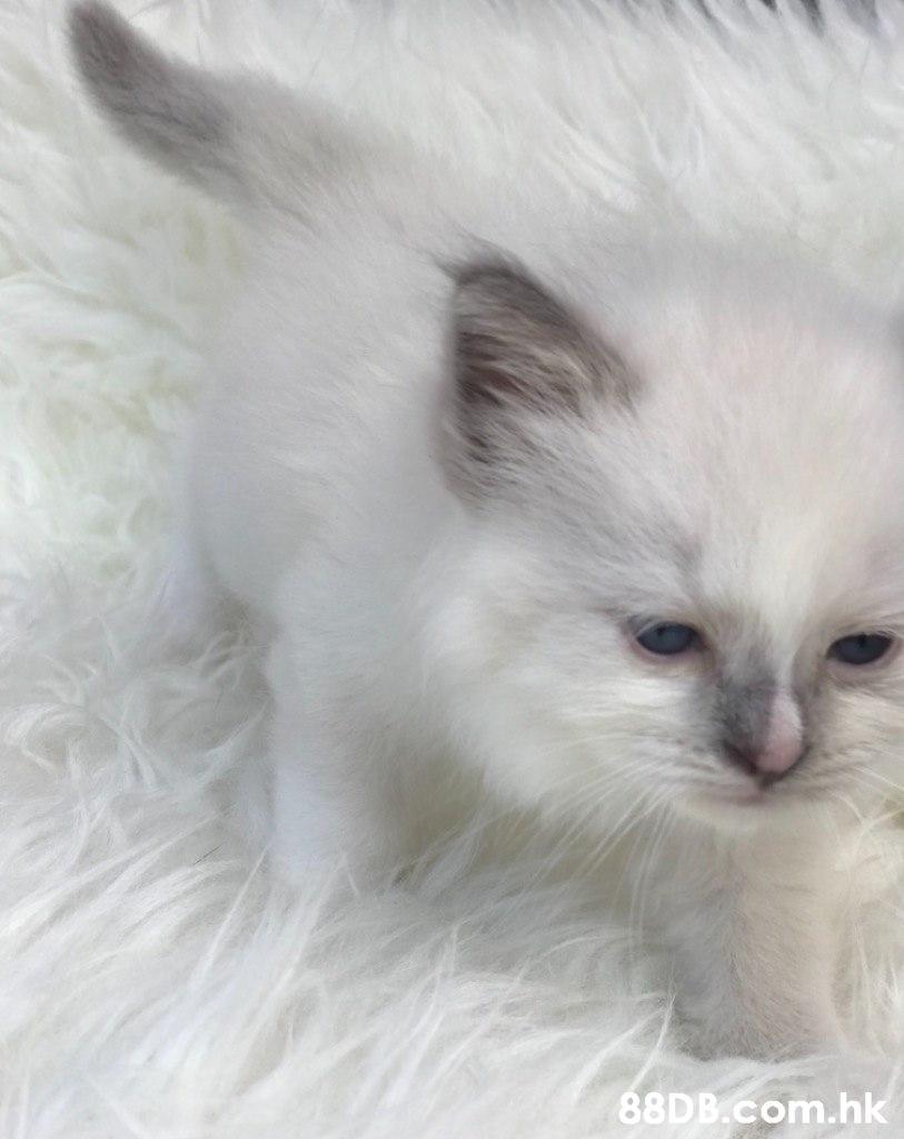 .hk  Cat,Mammal,Vertebrate,Small to medium-sized cats,Ragdoll