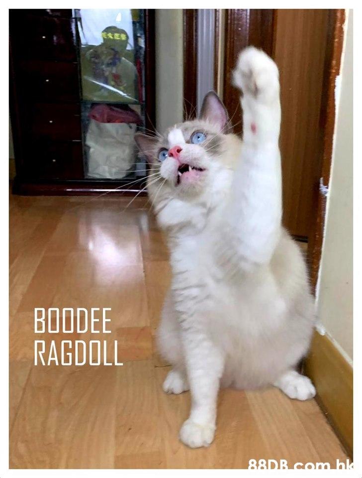 ERES BOODEE RAGDOLL  hk  Cat,Mammal,Small to medium-sized cats,Felidae,Photo caption
