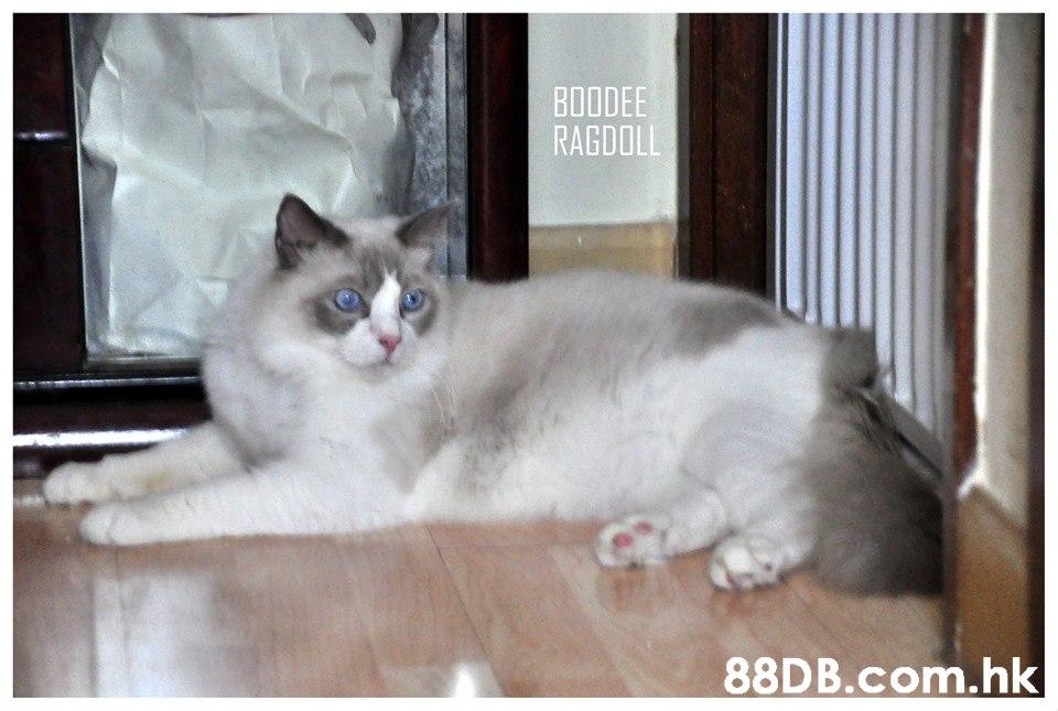 ΒλαΟE RAGDOLL .hk  Cat,Mammal,Vertebrate,Small to medium-sized cats,Felidae