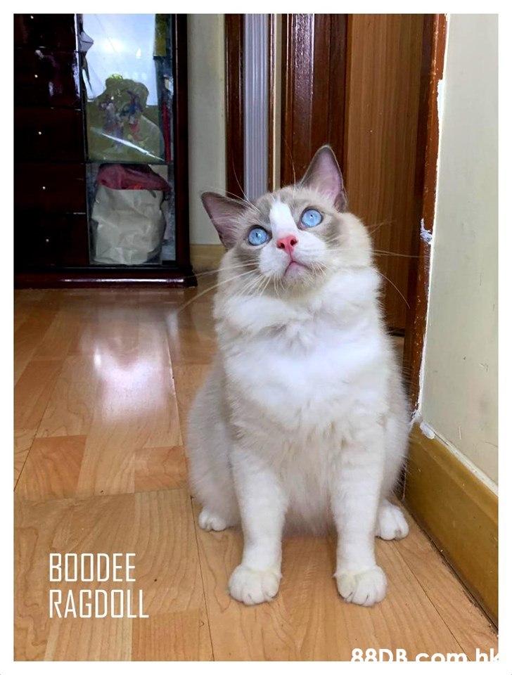 BOODEE RAGDOLL 88DB com bl  Cat,Mammal,Vertebrate,Small to medium-sized cats,Felidae