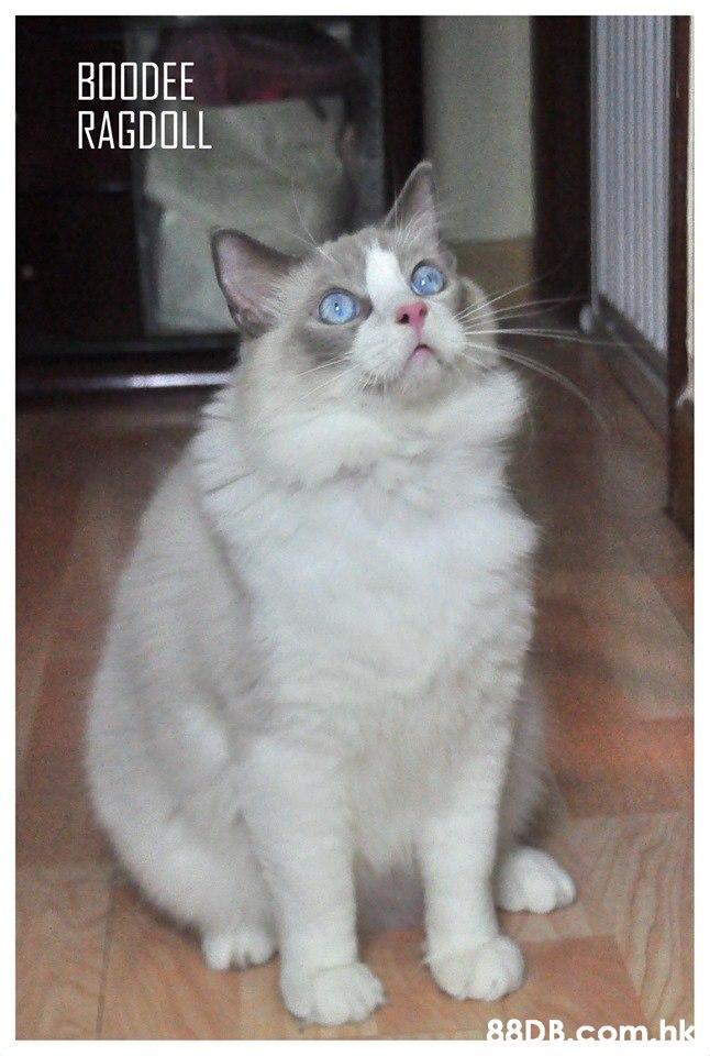 BOODEE RAGDOLL 88DB com.hk  Cat,Mammal,Vertebrate,Small to medium-sized cats,Felidae