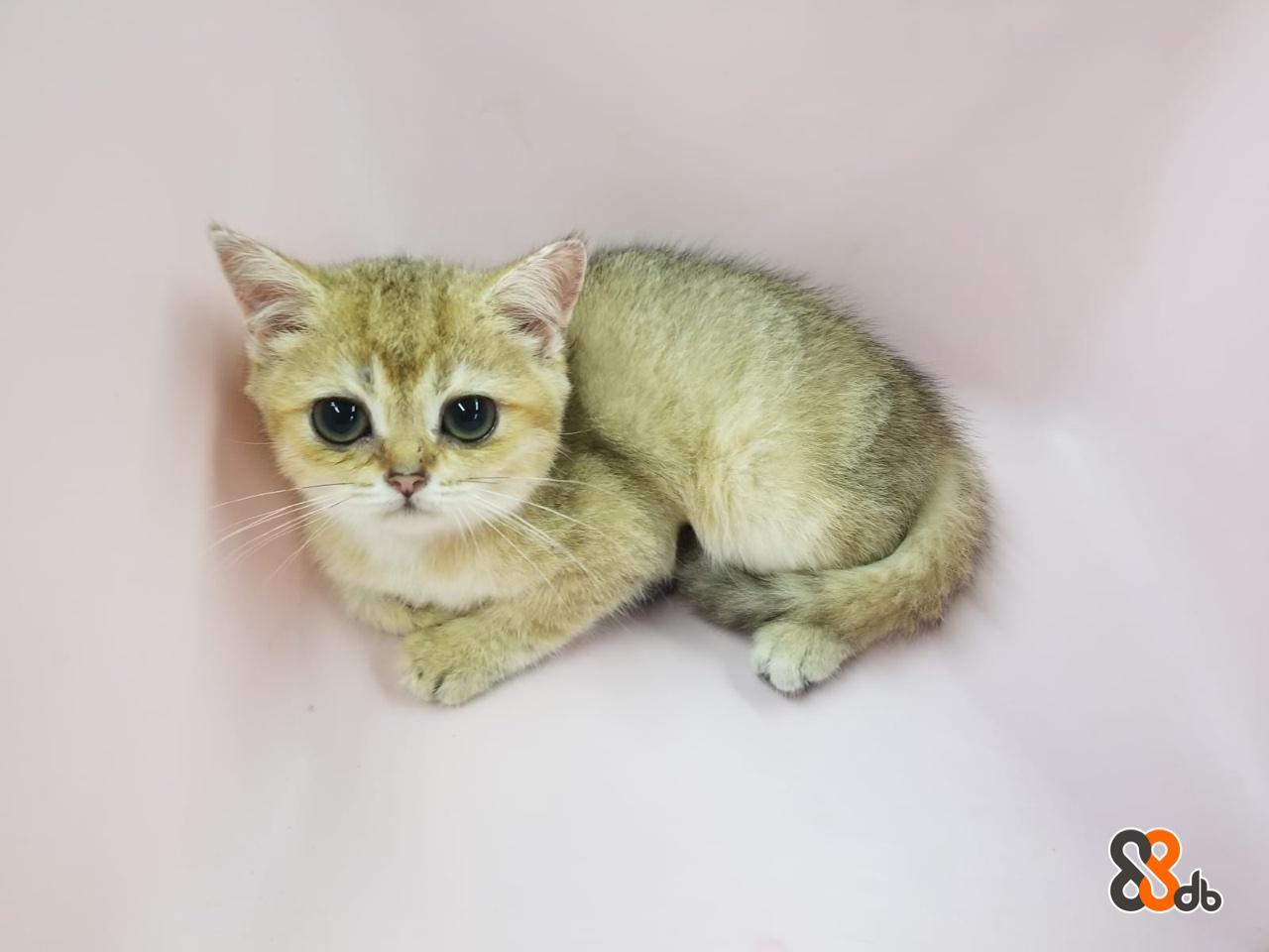 Cat,Small to medium-sized cats,Mammal,Felidae,Domestic short-haired cat