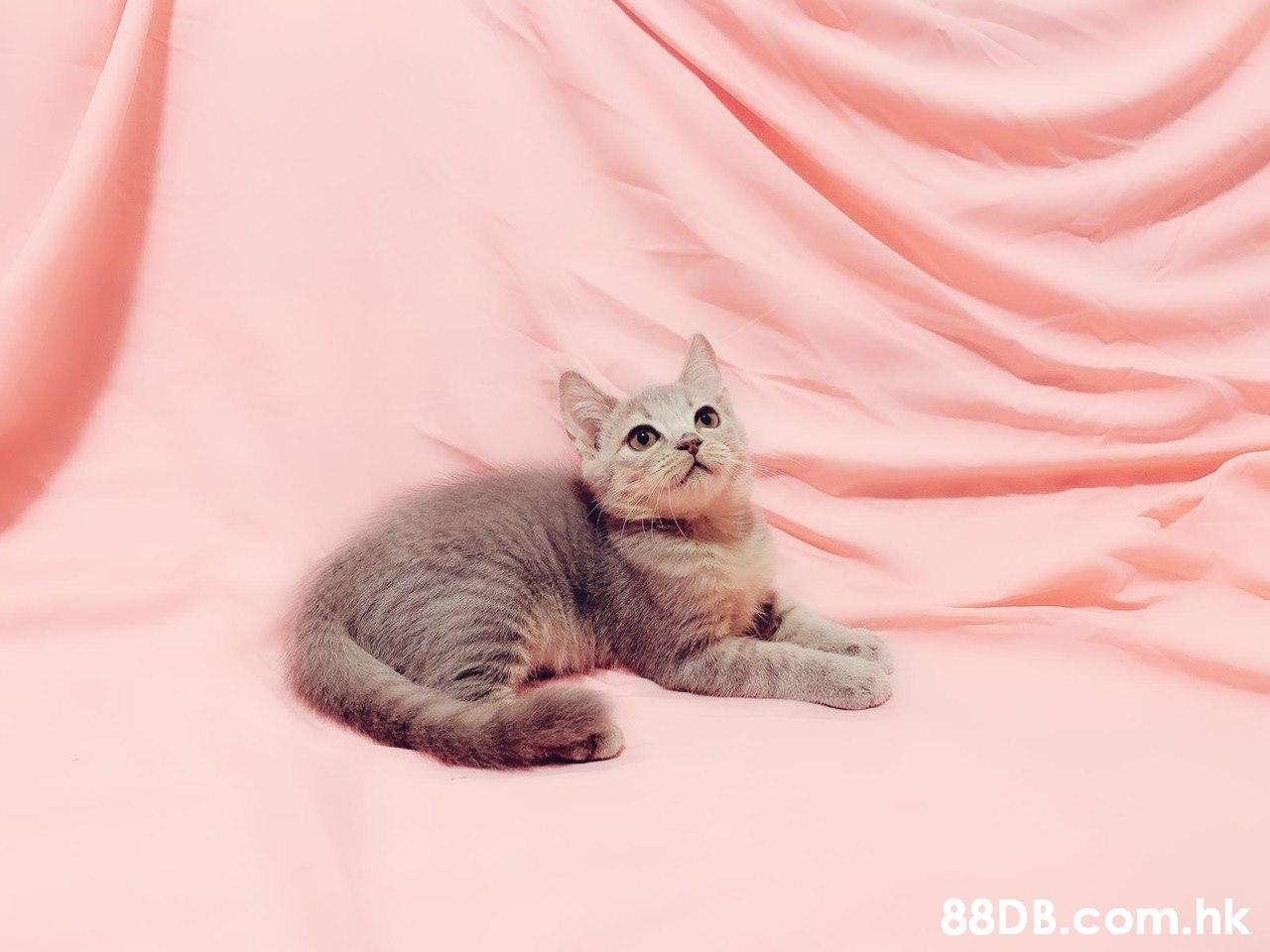 .hk  Cat,Mammal,Small to medium-sized cats,Felidae,Pink