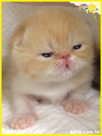 Fun Teme .hk  Cat,Mammal,Small to medium-sized cats,Felidae,Whiskers
