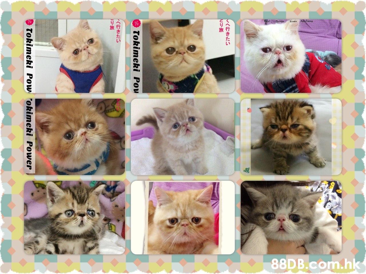 alThings Lives Aiing .hk くへ行きたい Tokimeki Pou へ行きたい Tokimeki Pow okimeki Power  Cat,Felidae,Small to medium-sized cats,Kitten,Persian