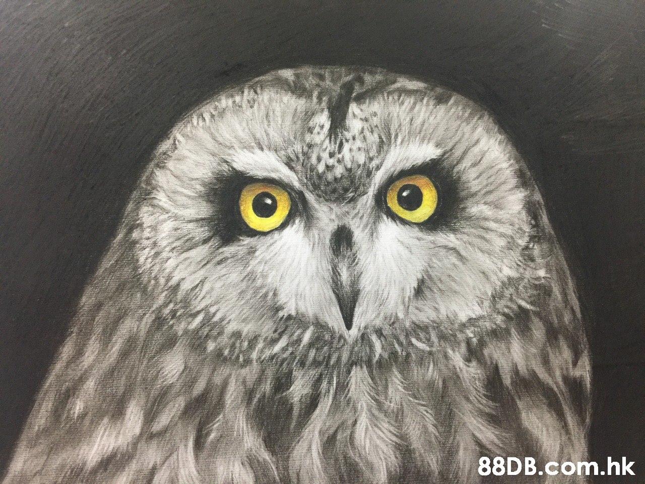 .hk  Owl,Bird,Vertebrate,Bird of prey,Beak
