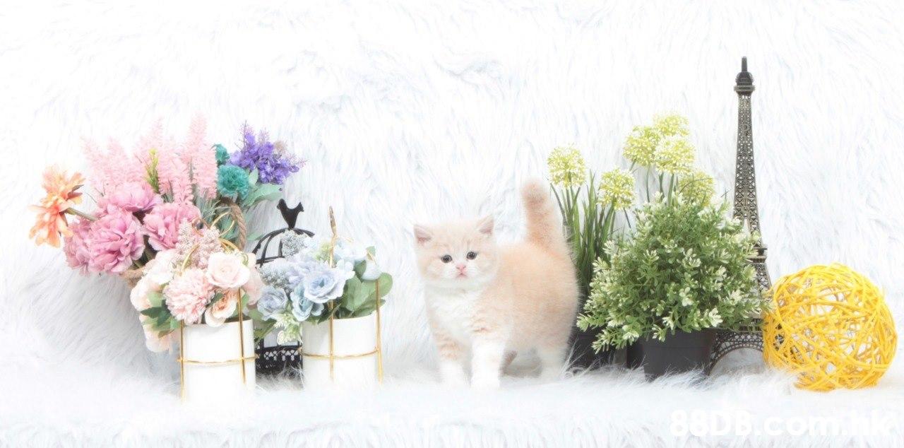 88D B.co  Cat,Mammal,Small to medium-sized cats,Felidae,Kitten