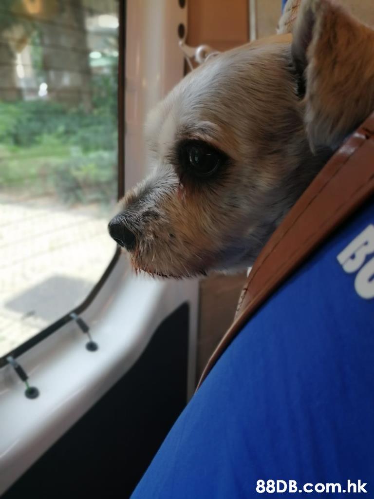 .hk BC  Dog,Mammal,Canidae,Dog breed,Companion dog